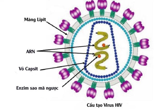 Cấu tạo HIV
