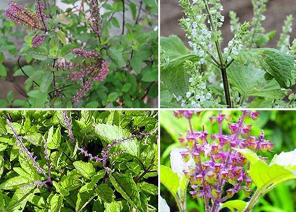 Bài thuốc y học cổ truyền từ cây hương nhu với những tác dụng thần kì